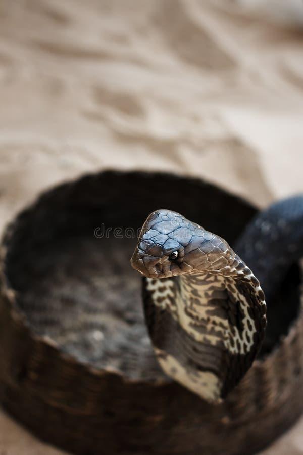 Cobra stock photography