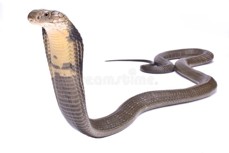 Cobra real, Ophiophagus Hannah fotos de archivo libres de regalías