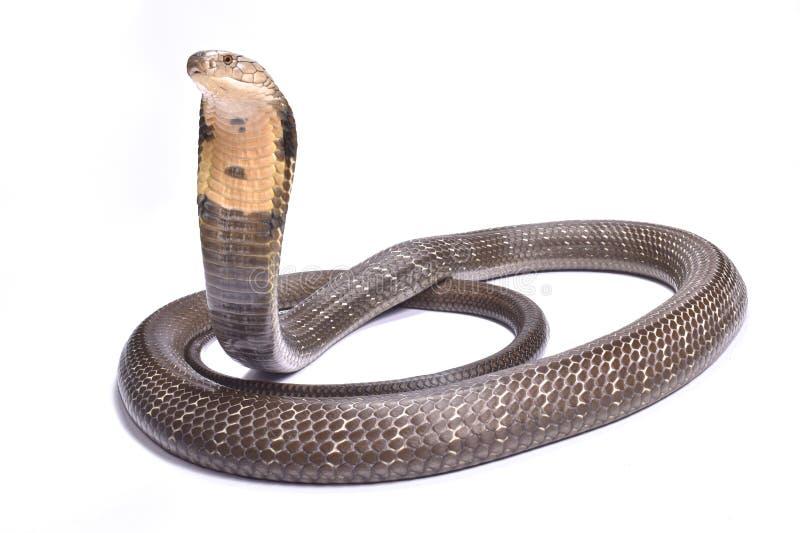 Cobra real, Ophiophagus Hannah fotos de archivo