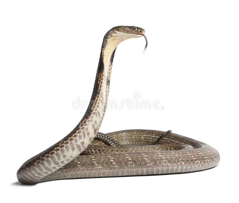 Cobra real - Ophiophagus Hannah, fondo venenoso, blanco imagen de archivo