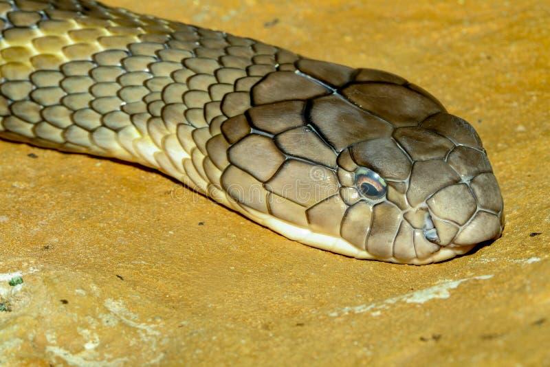 Cobra real principal ascendente cercana en Tailandia foto de archivo libre de regalías