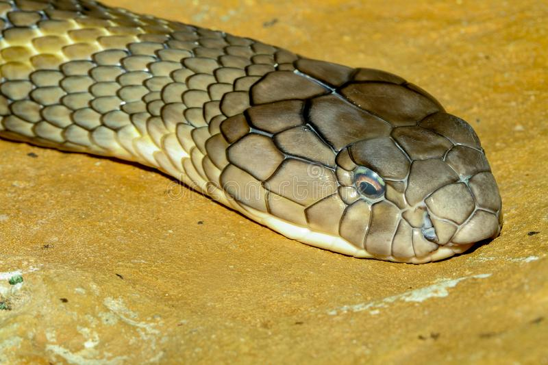 Cobra reale capa alta vicina alla Tailandia fotografia stock libera da diritti
