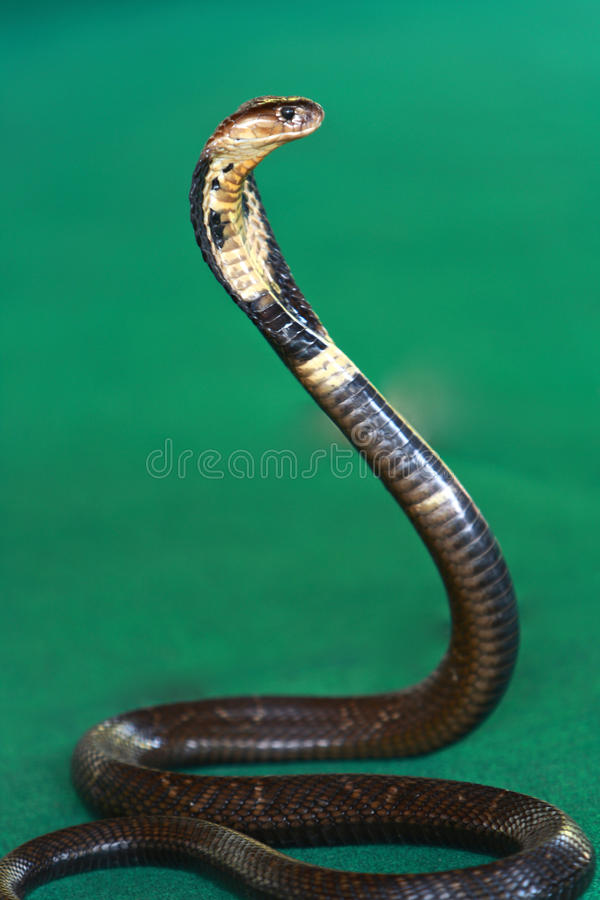 Cobra Snake stock photo