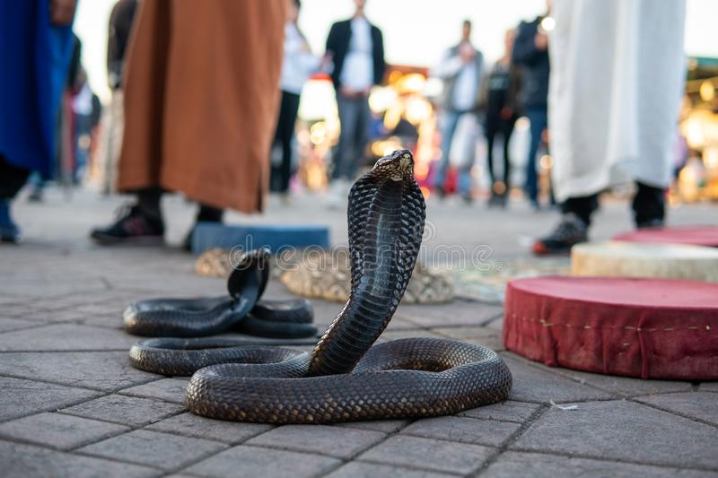 Cobra snakes in the Jamaa el Fna square, the main market place in Marrakesh, Morocco.  stock image