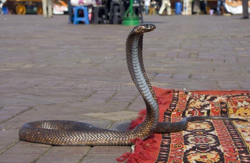 Cobradansen stock afbeeldingen