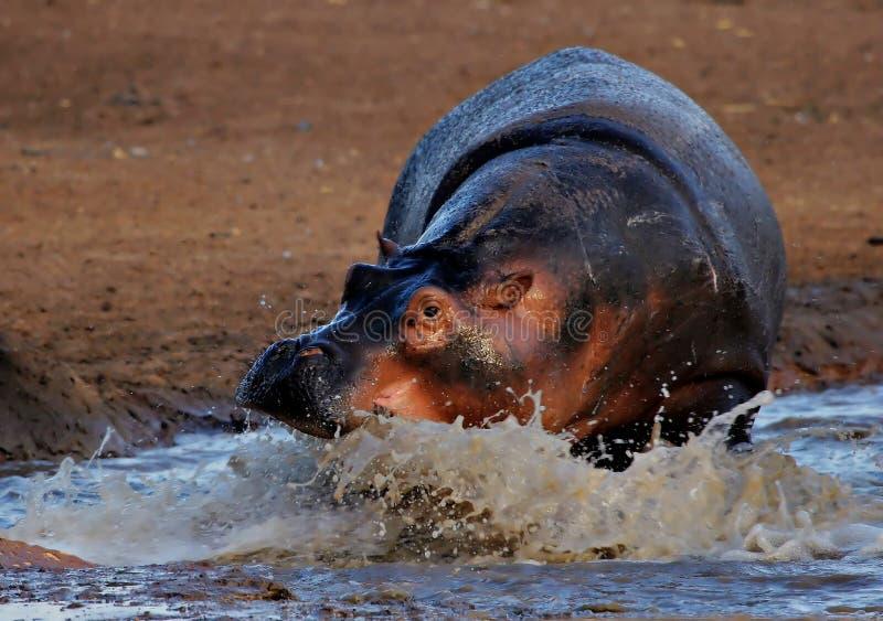 Cobrar do hipopótamo foto de stock