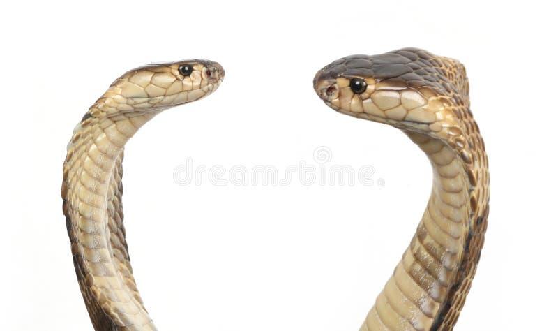 Cobras royalty free stock image