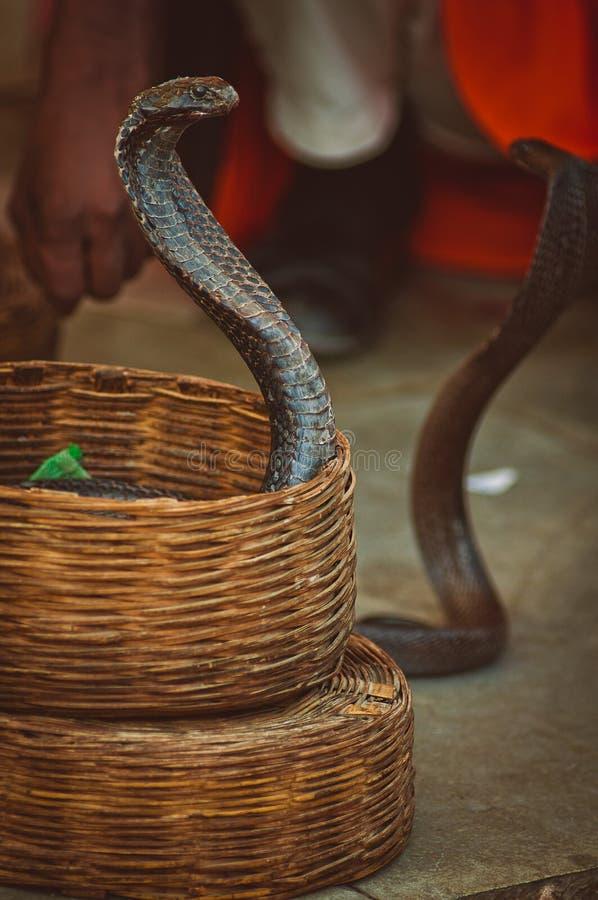 Cobras em uma cesta imagens de stock royalty free
