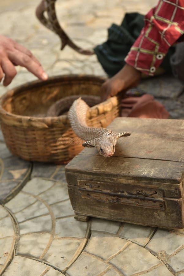 Cobraslang stock afbeeldingen