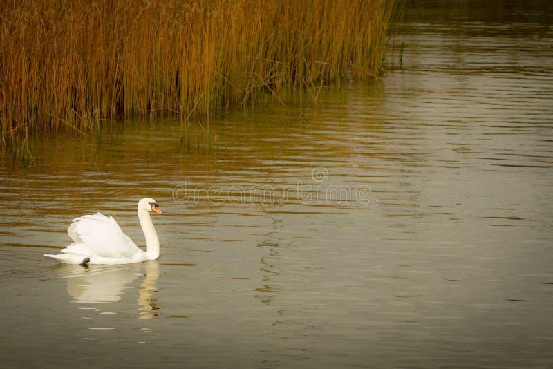 Cobre do outono no lago e na cisne foto de stock