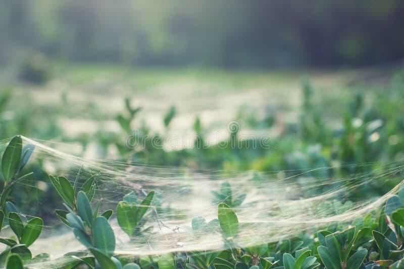 Cobweb del baco da seta fotografia stock libera da diritti