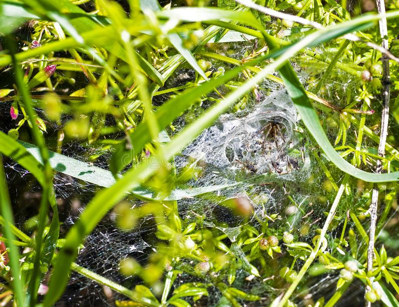 Cobweb Funnel Weaver spider Tegenaria duellica. The Funnel Weaver spider with its prey on vegetation in Combe Valley, East Sussex, England. It makes an extensive royalty free stock photos