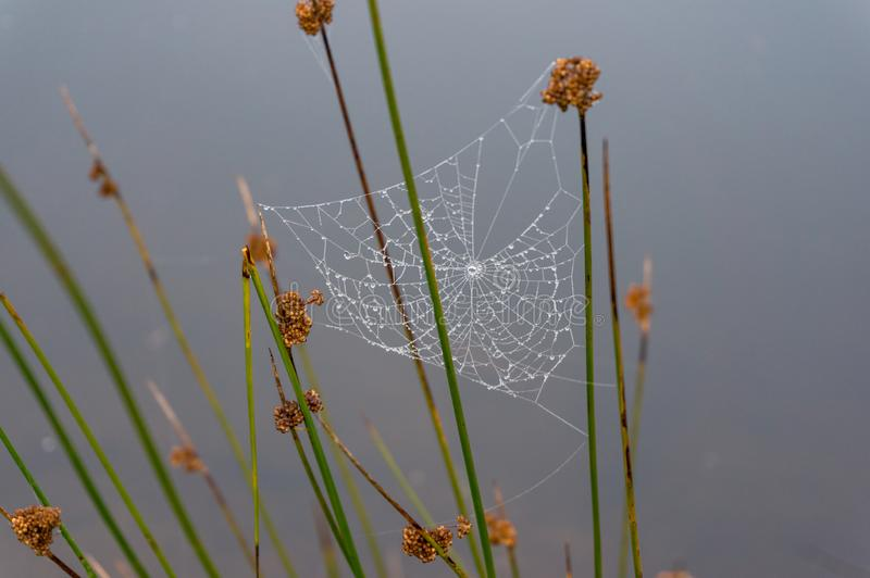 Cobweb, spider web with water drops hanging on a plant royalty free stock photos