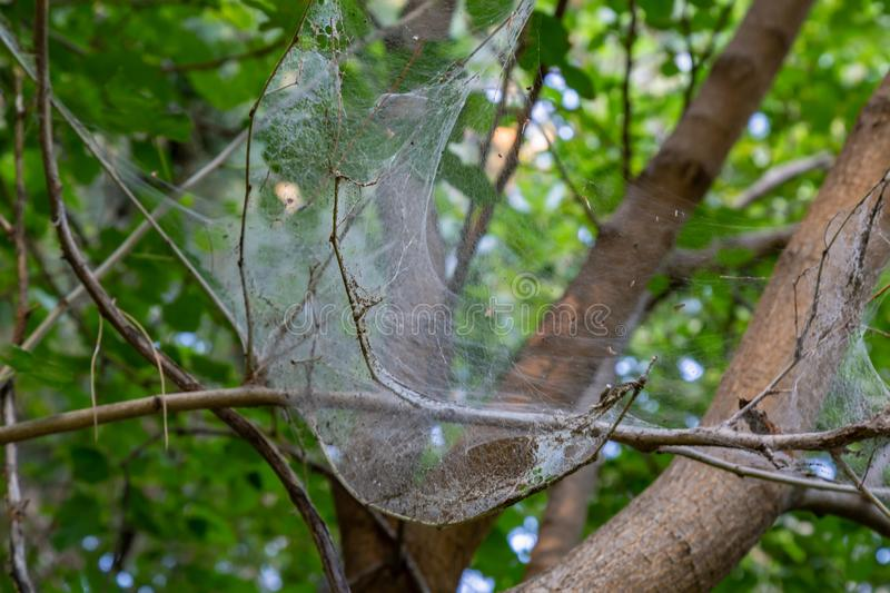 Cobweb on a tree at a park in Omaha Nebraska. Cobweb presumably produced by a spider on a tree at a park in Omaha Nebraska royalty free stock image