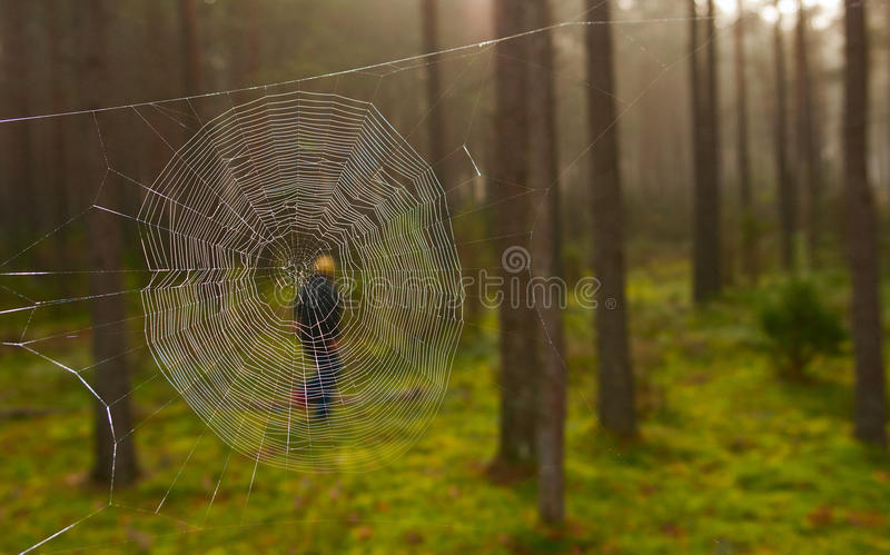 Download Cobweb in the woods stock photo. Image of arachnid, hunt - 26453156