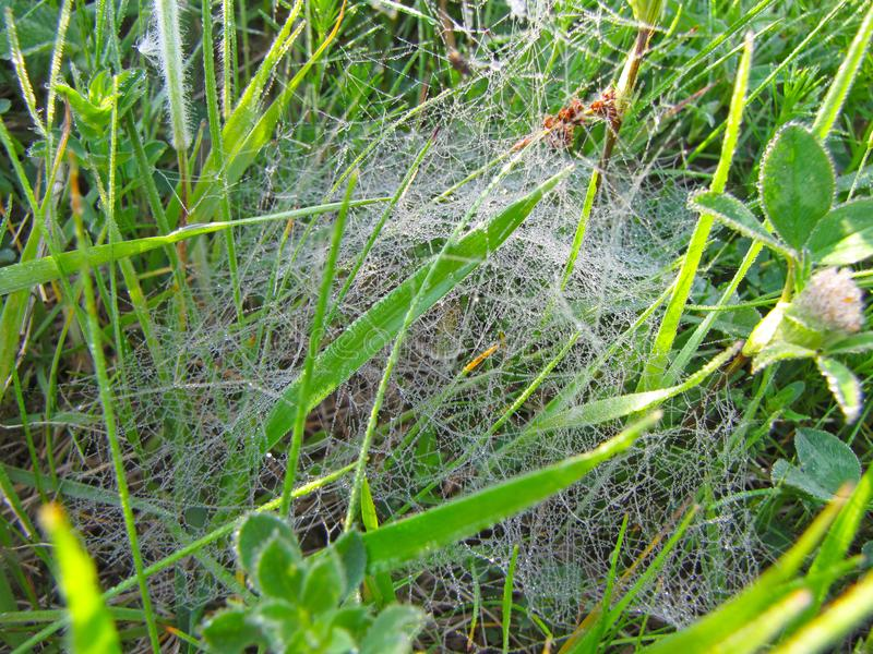 Cobwebs in droplets of morning dew playing in the sun. Macro photography of wildlife. Bouncy happy atmosphere. Cobwebs in droplets of morning dew playing in the royalty free stock photo