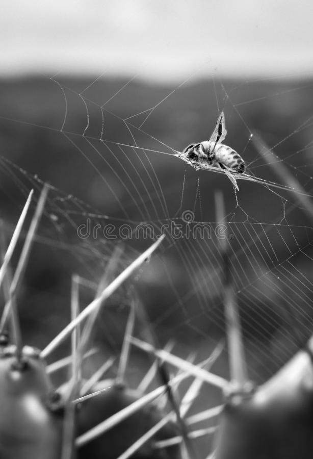 In the cobwebs of the spider, mother nature. Black, white, bnw, abstract, invisible, trap, mortal, dead, danger, thorns, lais, cause, fantastic, world, bug stock photos