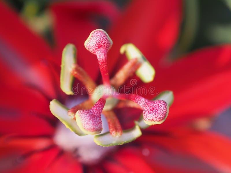 Coccinea Aubl do Passiflora Macro imagens de stock royalty free