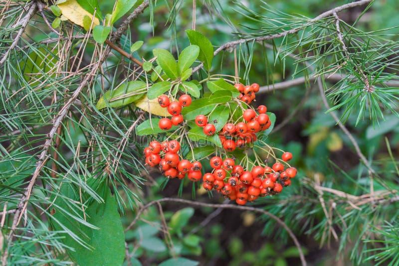 Coccinea de Pyracantha, baies de firethorn d'écarlate photographie stock libre de droits