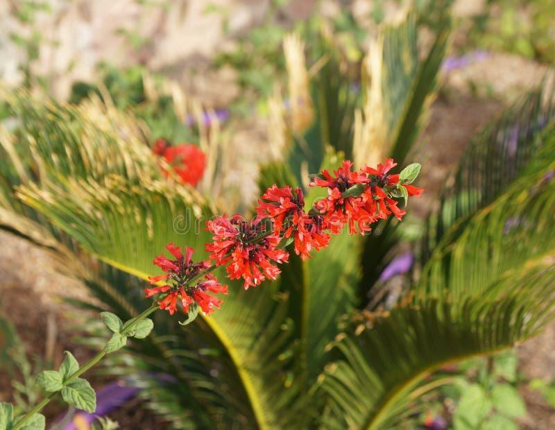 Coccinea di Salvia in fioritura, fuoco espressamente vago e selettivo immagine stock libera da diritti