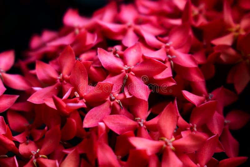 Coccinea rosso di Ixora immagini stock libere da diritti