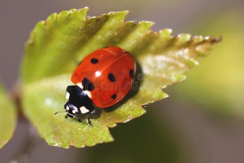 coccinella瓢虫septempunctata 免版税库存照片