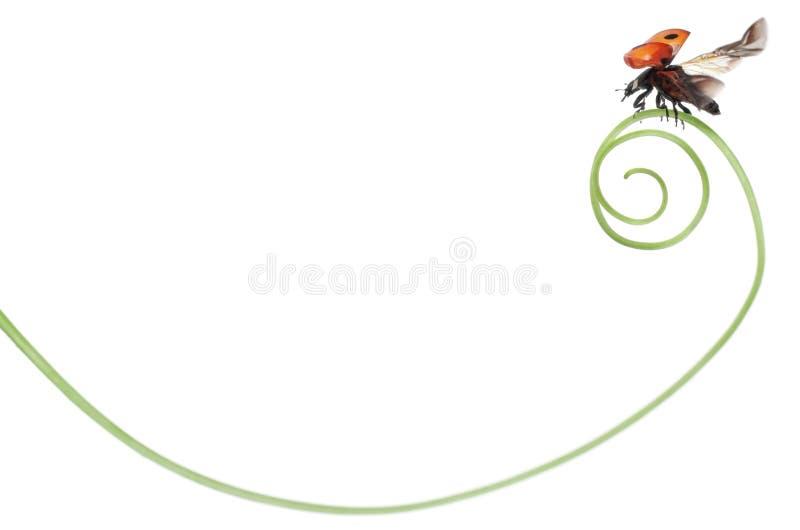 coccinella del Sette-punto o ladybug del sette-punto fotografie stock