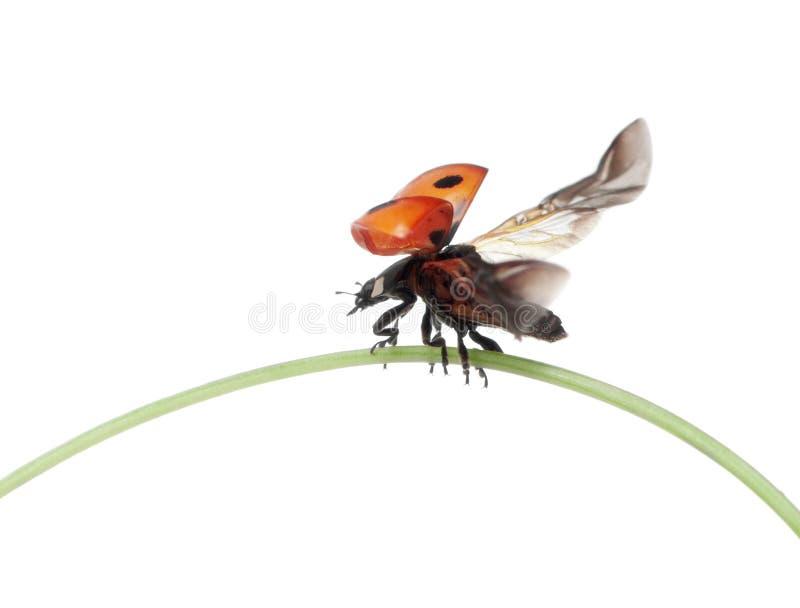 coccinella del Sette-punto o ladybug del sette-punto fotografie stock libere da diritti