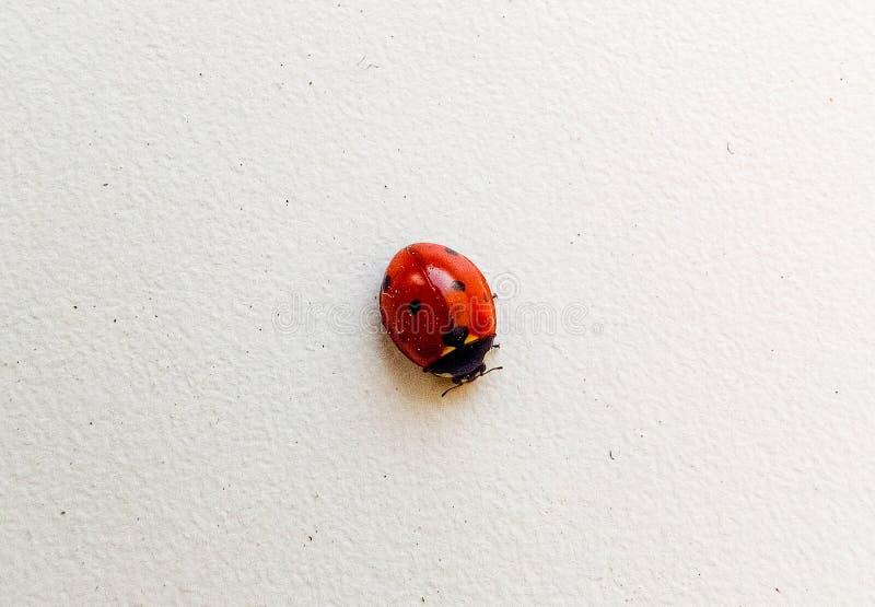 Coccinella dell'insetto sulla macro di superficie leggera beige nera fotografia stock libera da diritti