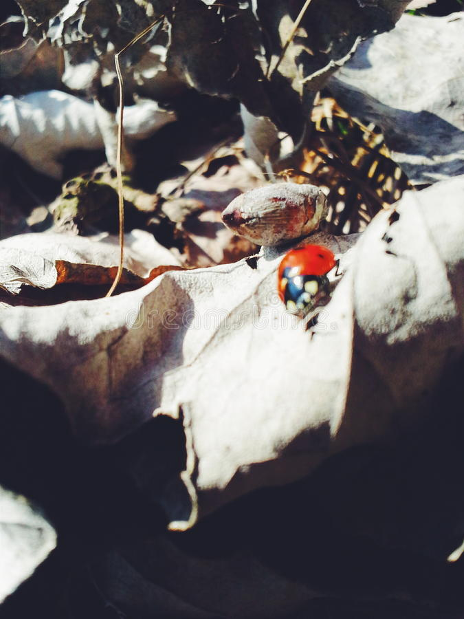 Coccinella di ottobre fotografie stock libere da diritti