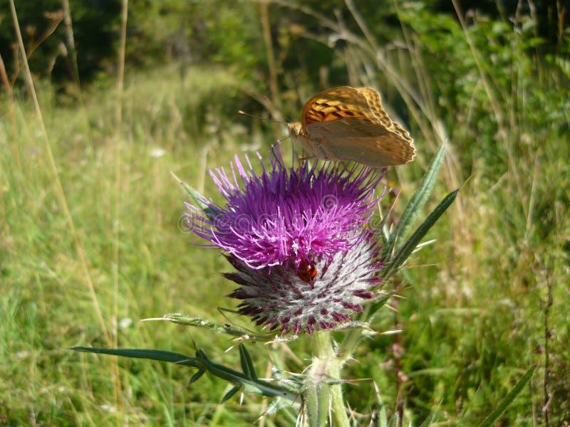 Coccinella e farfalla fotografia stock