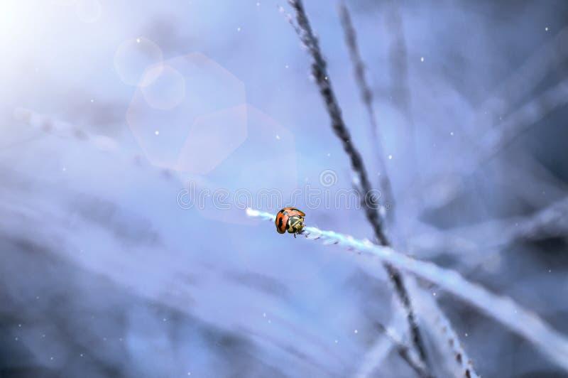 Coccinella nell'inverno fotografie stock