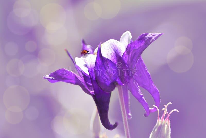 Coccinella rossa sui petali della porpora con il fiore bianco di aquilegia immagine stock libera da diritti