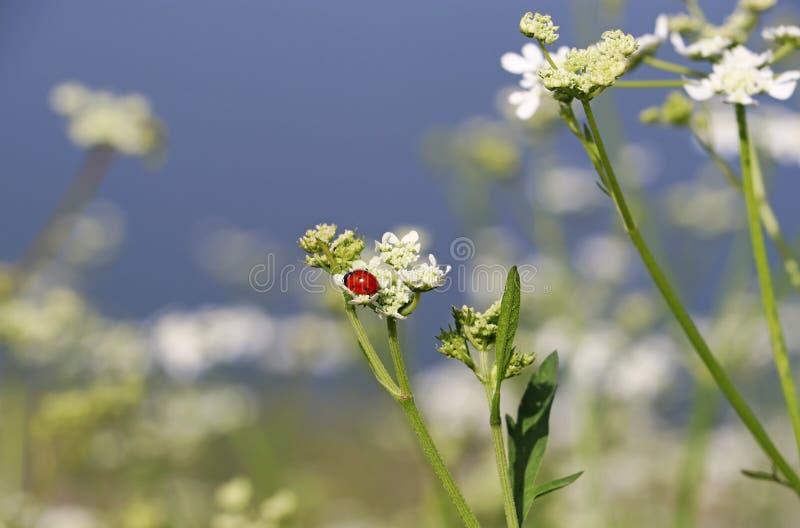 Coccinella rossa sul fiore selvaggio bianco immagine stock