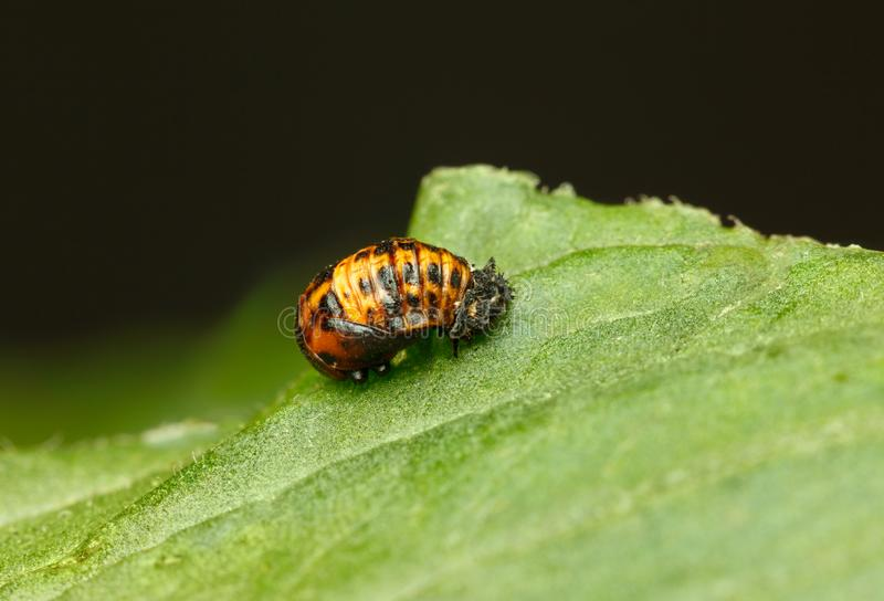 Coccinella septempunctata蛹 免版税库存照片
