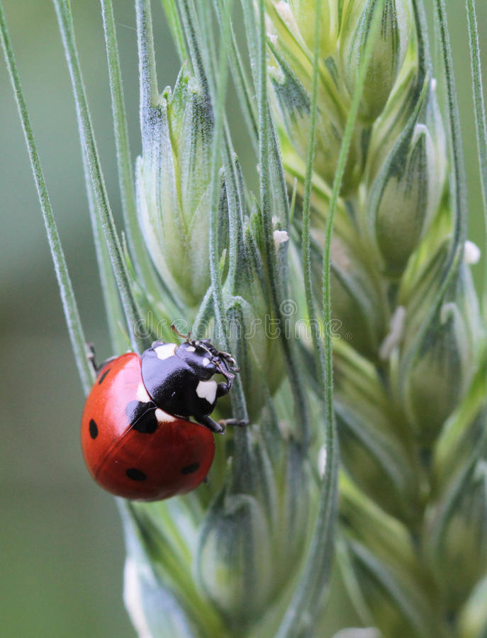 Download Coccinella septempunctata stock image. Image of beautiful - 25232327
