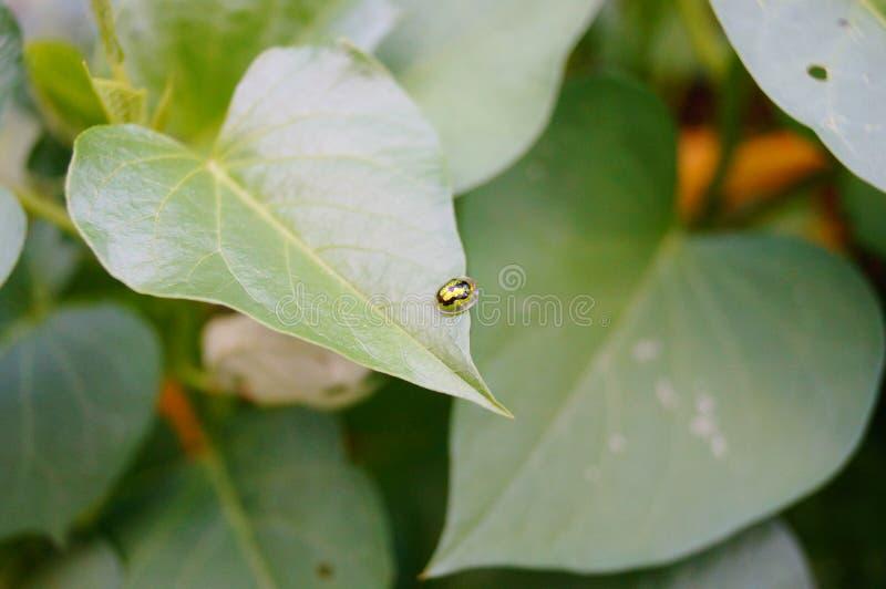 Coccinella septempunctata royaltyfri bild