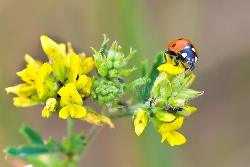 Coccinella septempunctata, Coccinella septempunctata,species of the beetle of the family ladybird stock photo