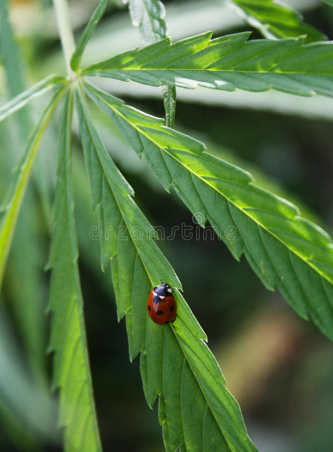 Coccinella su una foglia della cannabis immagine stock