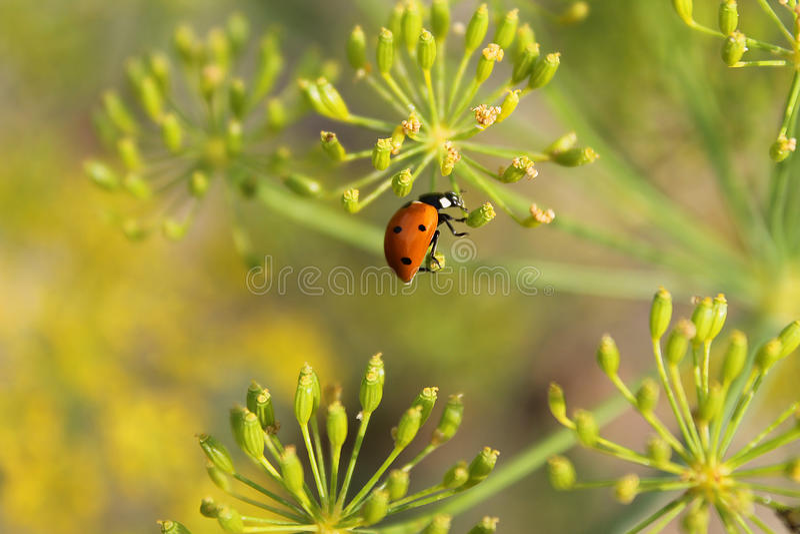 Coccinella sui fiori immagini stock libere da diritti