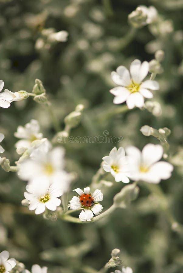 Coccinella sul fiore bianco fotografie stock libere da diritti