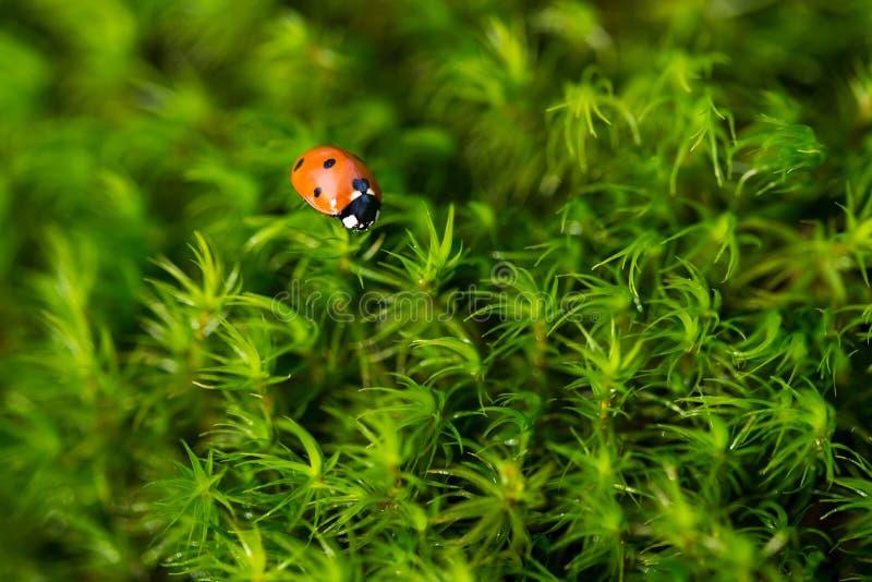 Coccinella sul muschio verde, fine su con piccola profondità di campo fotografie stock libere da diritti
