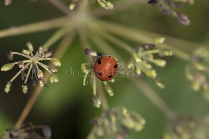 Coccinellaseptempunctata, onzelieveheersbeestje op een groene installatie stock fotografie
