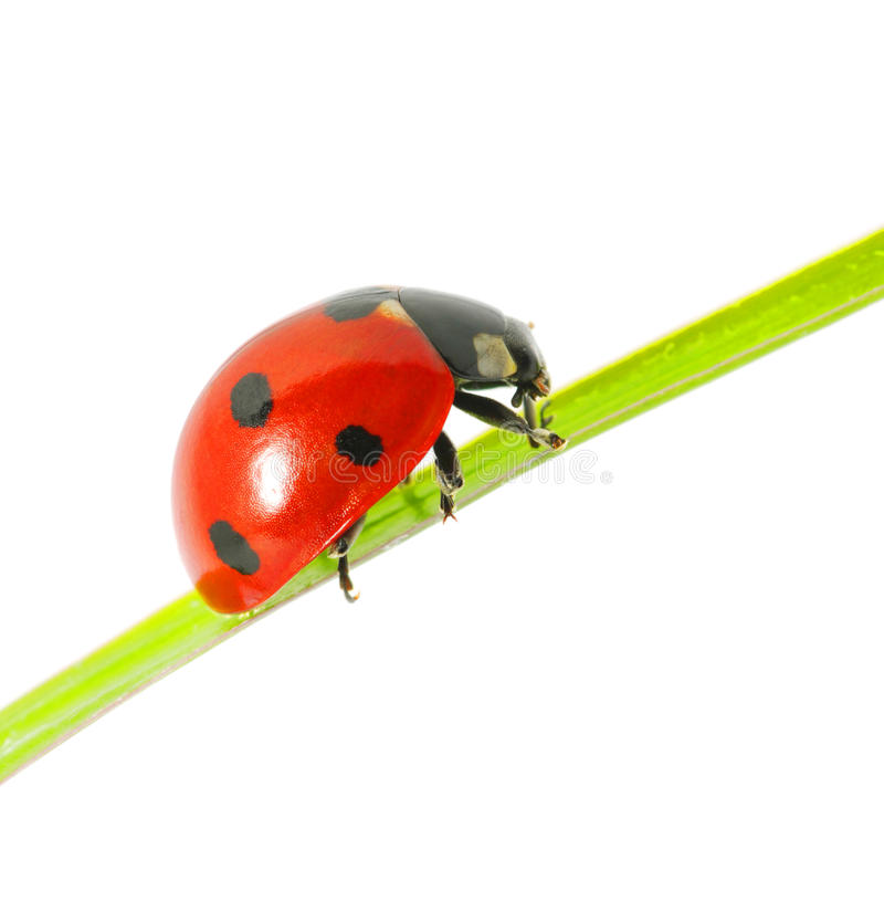 Coccinelle photographie stock