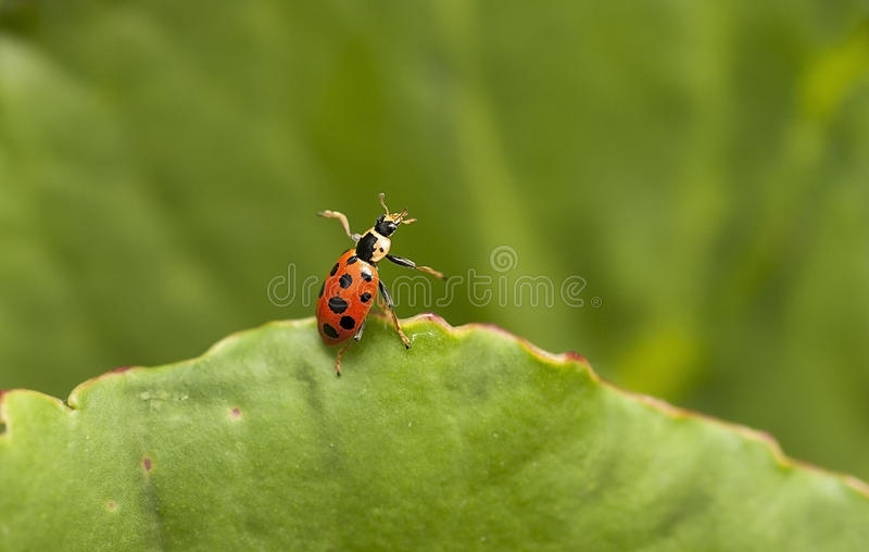 Coccinelle images stock