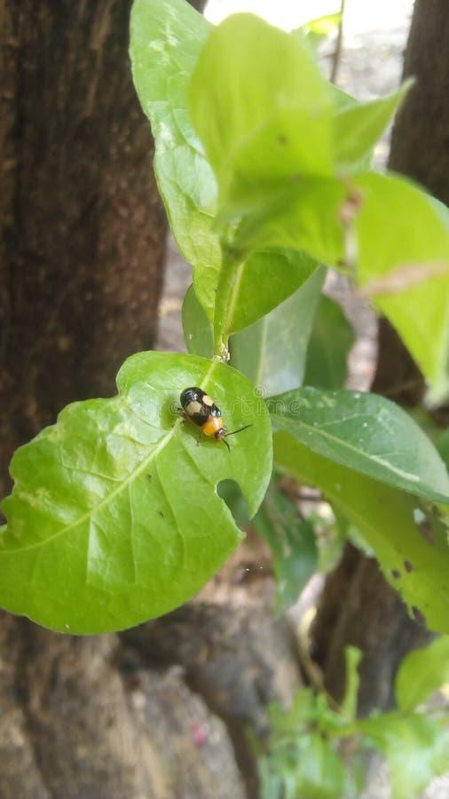coccinelle comme le scarabée image libre de droits