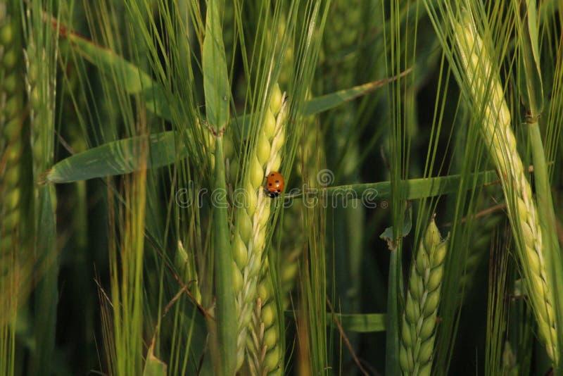 Coccinelle dans le seigle vert moyen photos stock