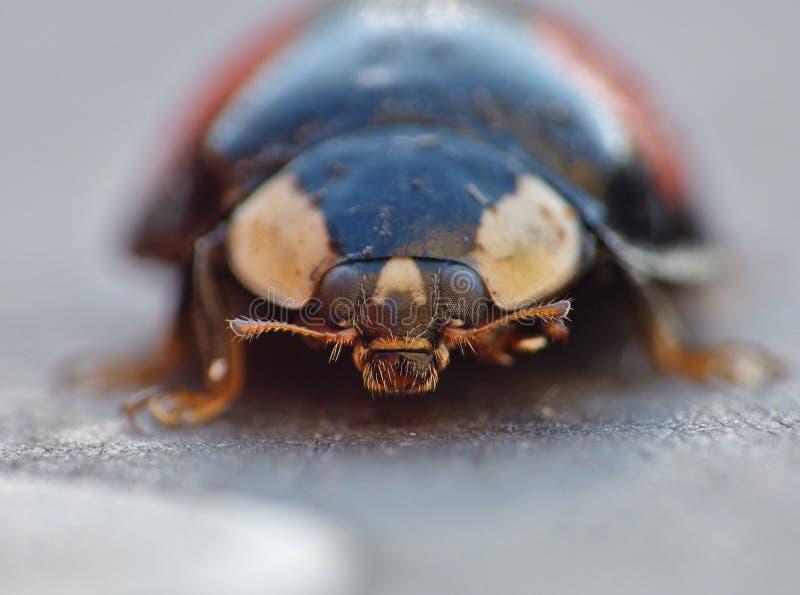 Coccinelle de harlequin La coccinelle d'envahisseur de Caped/Ladybird - image image libre de droits