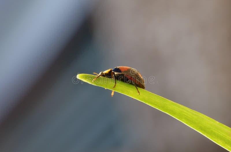 Coccinelle de harlequin La coccinelle d'envahisseur de Caped/Ladybird - image photographie stock libre de droits