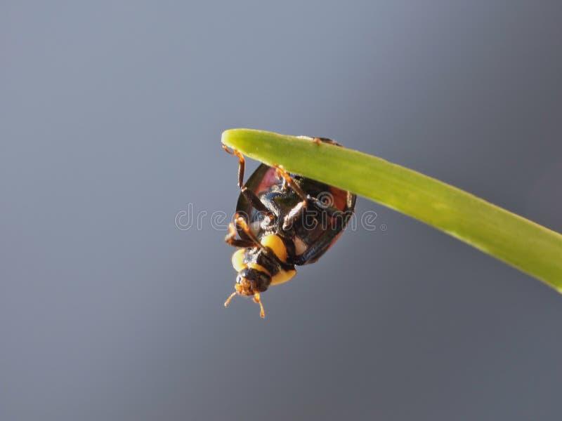 Coccinelle de harlequin La coccinelle d'envahisseur de Caped/Ladybird - image images libres de droits